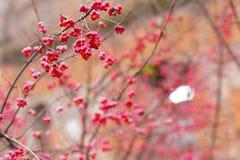 Arbusto deciduo, fiori rosa con i semi arancio del europaeus di euonymus o fuso Celastraceae fotografie stock