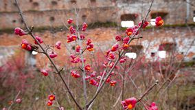 Arbusto deciduo, fiori rosa con i semi arancio del europaeus di euonymus o fuso Celastraceae immagini stock