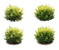 Arbusto decorativo imagem de stock