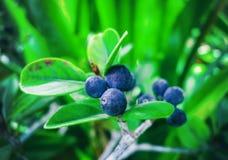 Arbusto decorativo com bagas azuis Fotos de Stock