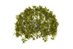 Arbusto decorativo con el camino de recortes Fotos de archivo libres de regalías
