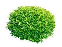 Arbusto decorativo dell'alloro verde Fotografia Stock