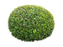Arbusto decorativo potato dell'alloro verde Fotografie Stock Libere da Diritti