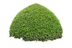 Arbusto decorativo redondo isolado no fundo branco Imagem de Stock Royalty Free