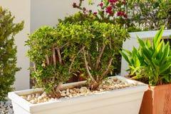 Arbusto decorativo in vaso da fiori bianco fotografia stock libera da diritti