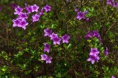 Arbusto dei rododendri di fioritura porpora Immagini Stock Libere da Diritti