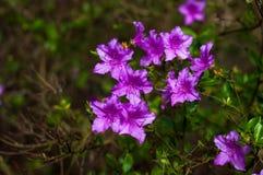 Arbusto dei rododendri di fioritura porpora Fotografia Stock Libera da Diritti
