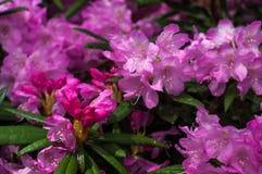 Arbusto dei rododendri di fioritura rosa Immagine Stock