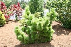 Arbusto del árbol de pino Fotos de archivo