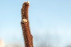 Arbusto del acacia con los brotes en primavera contra un fondo del cielo azul, espacio de la copia Imagen de archivo libre de regalías