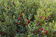 Arbusto del acebo Fotos de archivo