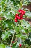 Arbusto del acebo con las bayas rojas fotos de archivo