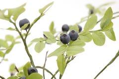 Arbusto del arándano Fotografía de archivo