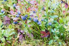 Arbusto del arándano Foto de archivo