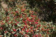 Arbusto del bérbero foto de archivo