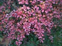 Arbusto del bérbero en último otoño Fotos de archivo