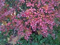 Arbusto del bérbero en último otoño Fotografía de archivo