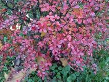 Arbusto del bérbero en último otoño Imágenes de archivo libres de regalías