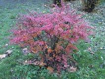 Arbusto del bérbero en último otoño Fotos de archivo libres de regalías