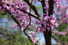 Arbusto del canadensis del Cercis en la floración en primavera Imágenes de archivo libres de regalías