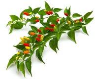 Arbusto del chile Foto de archivo libre de regalías