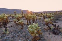arbusto del cholla del Peluche-oso en la puesta del sol en Joshua Tree National Park, California los E.E.U.U. fotos de archivo
