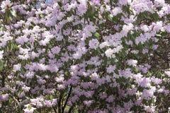 Arbusto del geranio cubierto en blossums rosados en primavera fotografía de archivo libre de regalías