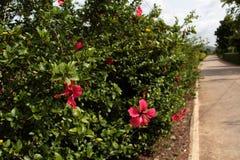 Arbusto del hibisco Imagen de archivo