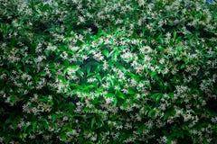 Arbusto del jazmín imágenes de archivo libres de regalías