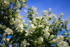 Arbusto del jazmín y cielo azul asombroso Imagenes de archivo