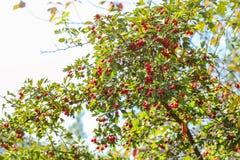 Arbusto del laevigata del Crataegus del espino de Midland con las bayas rojas foto de archivo libre de regalías
