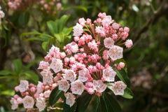 Arbusto del laurel de montaña en la floración en junio fotos de archivo