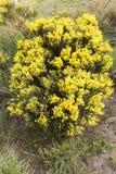 Arbusto del oromediterraneus del Cytisus Foto de archivo libre de regalías