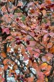 Arbusto del otoño Fotos de archivo libres de regalías