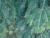 Arbusto del pino foto de archivo