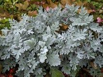 Arbusto del ` del polvo de la plata del ` del cineraria del Senecio Foto de archivo libre de regalías
