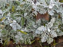 Arbusto del ` del polvo de la plata del ` del cineraria del Senecio Fotos de archivo