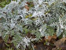 Arbusto del ` del polvo de la plata del ` del cineraria del Senecio Foto de archivo