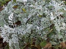 Arbusto del ` del polvo de la plata del ` del cineraria del Senecio Imagen de archivo libre de regalías