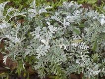 Arbusto del ` del polvo de la plata del ` del cineraria del Senecio Fotografía de archivo libre de regalías