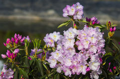 Arbusto del rododendro de la primavera del flor Fotografía de archivo libre de regalías