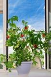 Arbusto del tomate Imagen de archivo libre de regalías