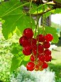 Arbusto del verano con las bayas maduras de una pasa roja Fruta fresca del redcurrant en el jardín Imagenes de archivo