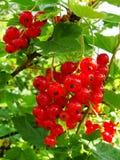 Arbusto del verano con las bayas maduras de una pasa roja Fruta fresca del redcurrant en el jardín Imágenes de archivo libres de regalías