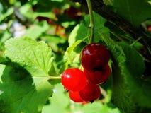 Arbusto del verano con las bayas maduras de una pasa roja Fruta fresca del redcurrant en el jardín Foto de archivo