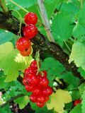 Arbusto del verano con las bayas maduras de una pasa roja Fruta fresca del redcurrant en el jardín Fotos de archivo