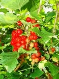 Arbusto del verano con las bayas maduras de una pasa roja Fruta fresca del redcurrant en el jardín Fotos de archivo libres de regalías