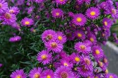 Arbusto del Zinnia en color de color rosa oscuro con la abeja en la flor Imagen de archivo