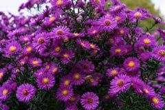 Arbusto del Zinnia en color de color rosa oscuro con la abeja en la flor Foto de archivo libre de regalías