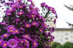 Arbusto del Zinnia en color de color rosa oscuro con la abeja en la flor Fotos de archivo